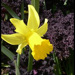 Daffodil, Cyclamineus