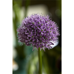 Allium (Flowering Onion)