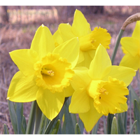 Daffodil bulk Carlton  (½ BU - Ships Oct thru Jan)