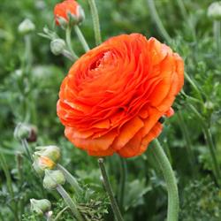 Ranunculus Orange (10 bulbs per pkg - Ships Oct thru June)
