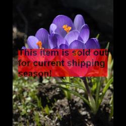 Crocus tommasinianus 'Barr's Purple' (25 bulbs per pkg - Ships Oct thru Jan)
