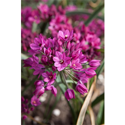Allium ostrowskianum (25 bulbs per pkg - ships Oct thru Jan)