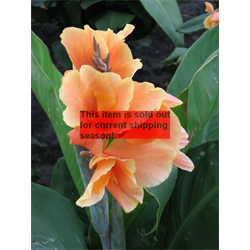 Canna Dwarf Tropical Sunrise (5 bulbs per pkg - Ships March thru June)