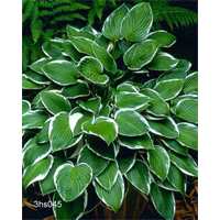 Hosta 'Francee'  (5 plants per pkg - Ships Oct thru June)