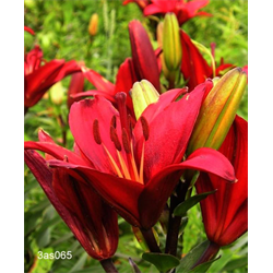 Lily bulk Asiatic Red  ½ BU - Ships Oct thru June)