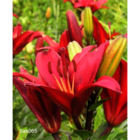Lily Asiatic Red (5 bulbs per pkg - Ships Oct thru June)