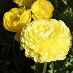 Ranunculus Yellow (10 bulbs per pkg - Ships Oct thru June)