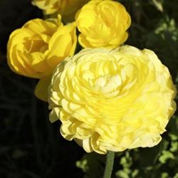 Ranunculus Yellow (10 bulbs per pkg - Ships Oct thru June)