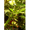 Additional images for Amorphophallus bulbifer (3 bulbs/pkg - Ships March thru June)