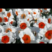 Daffodil Lg. Cup Professor Einstein (10 bulbs per pkg - Ships Oct thru Jan)