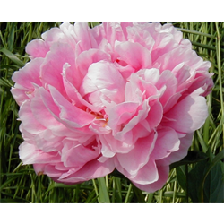 Peony Clump Sarah Bernhardt (Ships Oct thru Jan)