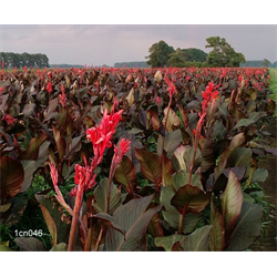 Giant Red King Humbert Cannas For Sale Terra Ceia Farms