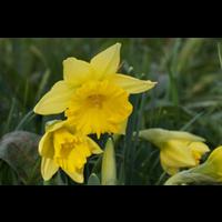 Daffodil Trumpet Rijnvelds Early Sensation(10 bulbs per pkg-Ships Oct thru Jan)
