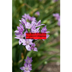 *SOLD OUT* Allium unifolium (25 bulbs per pkg - ships Oct thru Jan)