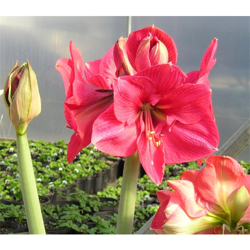Amaryllis Brazza (1 bulb per pkg - ships Oct thru Jan)