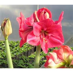 Amaryllis Jumbo Potted Bulb Kit - Hercules (ships Nov thru Jan)