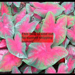 *SOLD OUT* Caladium bulk Red (½ BU - Ships March thru June)