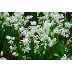 Scilla sibirica Alba (25 bulbs per pkg - Ships Oct thru Jan)