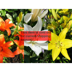 *SOLD OUT* Lily Asiatic Collection (30 bulbs per collection - Ships Oct thru Ju