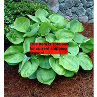 *SOLD OUT* Hosta bulk Green Leaf (½ BU - Ships Oct thru June)