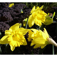 Daffodil bulk Yellow Trumpet Mix  (½ BU - Ships Oct thru Jan)