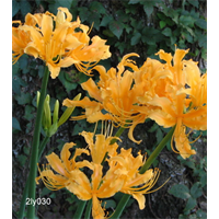 Lycoris aurea (3 bulbs per pkg - Ships Oct thru Jan)