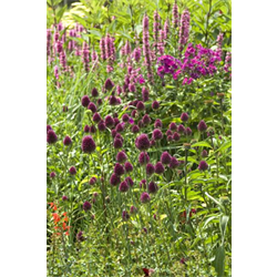 Allium sphaerocephalon (25 bulbs per pkg - ships Oct thru Jan)
