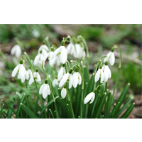 Galanthus nivalis (10 bulbs per pkg - Ships Oct thru Jan)