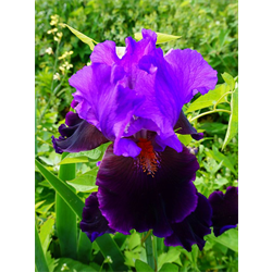 Bearded Iris Purple (5 plants per pkg - Ships Oct thru Jan)