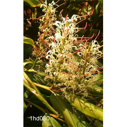 Hedychium griffithianum (3 bulbs per pkg - Ships March thru June)