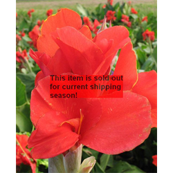 *SOLD OUT* Canna bulk Giant Red (½ BU - Ships March thru June)