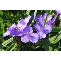 Tradescantia virginiana (10 plants per pkg - Ships Oct thru June)