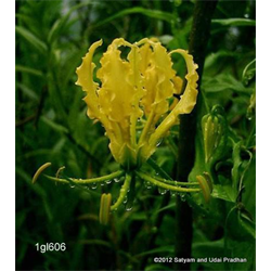 Gloriosa lutea (3 bulbs per pkg - Ships March thru June)