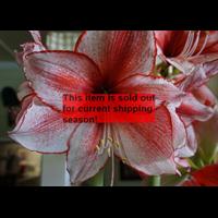 Amaryllis Jumbo Potted Bulb Kit - Charisma (ships Nov thru Jan)