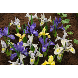 Dwarf Iris Mixed (25 bulbs per pkg - Ships Oct thru Jan)