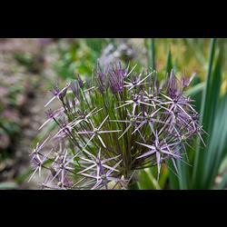 Allium schubertii (3 bulbs per pkg - ships Oct thru Jan)