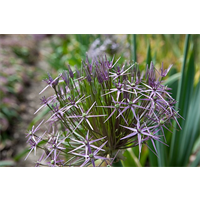 Allium schubertii (3 bulbs per pkg - ships Oct thru Jan)