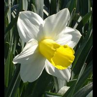 Daffodil Trumpet Holland Sensation (10 bulbs per pkg - Ships Oct thru Jan)