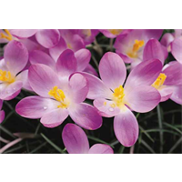 Crocus tommasinianus 'Ruby Giant' (25 bulbs per pkg - Ships Oct thru Jan)