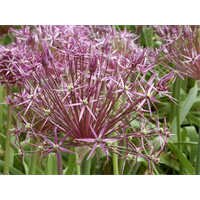 Allium albopilosum (christophii -10 bulbs per pkg - ships Oct thru Jan)