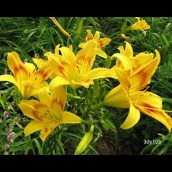 Daylily Wilson's Yellow (5 plants per pkg - Ships Oct thru June)