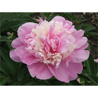Peony Sorbet (3 bulbs per pkg - Ships Oct thru Jan)