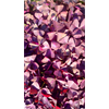 Additional images for *FALL 2020* Oxalis regnellii var. triangularis (10 bulbs per pkg - Ships Oct thr