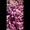 Additional images for Oxalis regnellii var. triangularis (10 bulbs per pkg - Ships Oct thru June)
