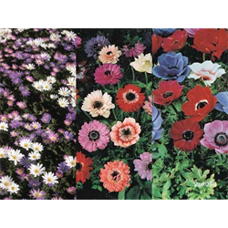Anemone coronaria Collection (75 bulbs - Ships Oct thru June)