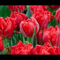 Tulip Double Abba (10 bulbs per pkg - Ships Oct thru Jan)