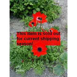 *SOLD OUT* Anemone coronaria Hollandia (25 bulbs per pkg - Ships Oct thru June)