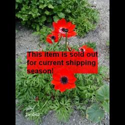 *SOLD OUT* Anemone coronaria Hollandia (25 bulbs/pkg - Ships Oct thru June)