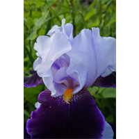Bearded Iris Lavender (5 plants per pkg - Ships Oct thru Jan)