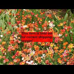 *SOLD OUT* Sparaxis (25 bulbs per pkg - Ships Oct thru Jan)